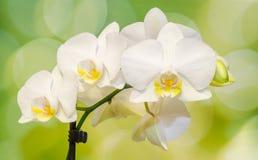 De witte die orchideetak bloeit, Orchidaceae, Phalaenopsis als de Mottenorchidee wordt bekend, afgekorte Phal Groen licht bokeh Stock Afbeeldingen