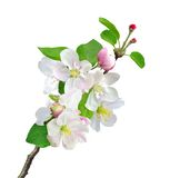 De witte die tak van appelbloemen op wit wordt geïsoleerd Stock Afbeeldingen