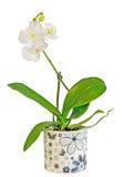 De witte die takorchidee bloeit met knoppen, Orchidaceae, Phalaenopsis als de Mottenorchidee wordt bekend Stock Fotografie