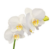 De witte die takorchidee bloeit met knoppen, Orchidaceae, Phalaenopsis als de Mottenorchidee wordt bekend Royalty-vrije Stock Afbeelding