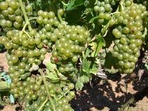 De witte Druiven van de Wijn Royalty-vrije Stock Afbeelding