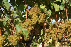 De witte Druiven van de Wijn Klaar voor Oogst Stock Foto's