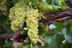 De witte Druiven van de Wijn op Wijnstok Royalty-vrije Stock Foto's