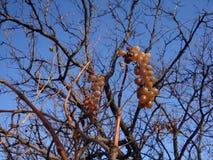 De witte druiven in de wijngaard, sluiten omhoog royalty-vrije stock afbeeldingen