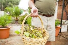 De witte druivenmand, holded door hogere mensenhand Royalty-vrije Stock Afbeeldingen
