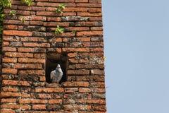 De witte duif die zich in het gat bevinden Stock Foto