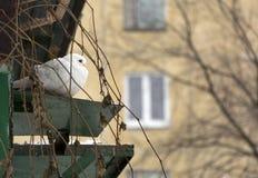 De witte duif, vogel zit dichtbij de dag van de duifwinter Stock Afbeeldingen