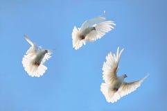 De witte duiven van de groep in de hemel Stock Afbeeldingen