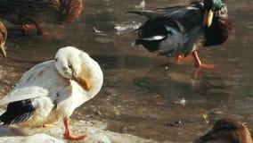 De witte eend baadt in een vijver bevroren Anaplatyrhynchos stock videobeelden