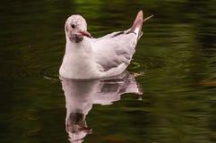 De witte eend zwemt in vijver Nog vlotteractie Water met donkere schaduw en bezinning Stock Foto