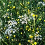 De witte en Gele achtergrond van de Zomerbloemen, Weidelandschap Royalty-vrije Stock Foto's