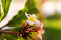 De witte en gele bloemen van plumeriafrangipani met bladeren Stock Afbeelding