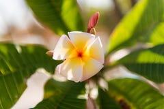 De witte en gele bloemen van plumeriafrangipani met bladeren Royalty-vrije Stock Foto