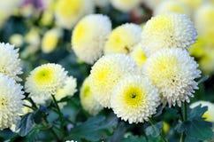 De witte en Gele Chrysant van de Nevel. Royalty-vrije Stock Fotografie