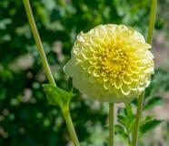 De witte en gele dag van de dahliaclose-up in het Park royalty-vrije stock afbeelding