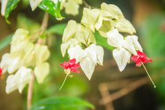 De witte en rode bloem van de bleeding-hartwijnstok (Clerodendrum-thomsoniae) met groene achtergrond Clerodendrumthomsoniae als b royalty-vrije stock fotografie