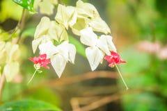 De witte en rode bloem van de bleeding-hartwijnstok (Clerodendrum-thomsoniae) met groene achtergrond Clerodendrumthomsoniae als b stock foto