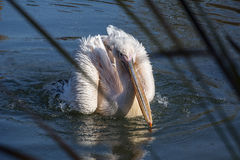 De witte en roze pelikaan is op het water Stock Fotografie