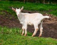 De witte en zwarte geit van de baby Stock Afbeeldingen