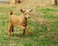 De witte en zwarte geit van de baby Stock Foto