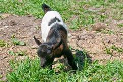 De witte en zwarte geit van de baby Royalty-vrije Stock Fotografie