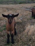 De witte en zwarte geit van de baby stock afbeelding