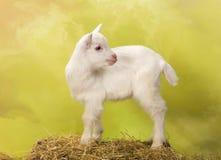 De witte en zwarte geit van de baby royalty-vrije stock afbeelding