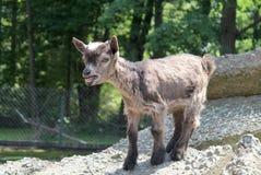 De witte en zwarte geit van de baby stock foto's