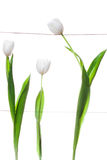 De witte Familie van Tulpen stock afbeelding