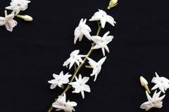 De witte flora van de bloemenjasmijn lokaal van Azië royalty-vrije stock foto's