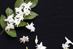 De witte flora van de bloemenjasmijn lokaal van Azië stock foto's
