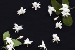 De witte flora van de bloemenjasmijn lokaal van Azië royalty-vrije stock foto