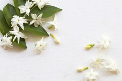 De witte flora van de bloemenjasmijn lokaal van Azië stock fotografie