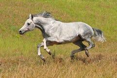 De witte galop van de paardlooppas Royalty-vrije Stock Afbeeldingen