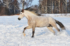 De witte galop van de paardlooppas in de winter Royalty-vrije Stock Afbeelding