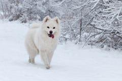 De witte gangen van hondsamoyed in het hout in de winter Royalty-vrije Stock Afbeeldingen