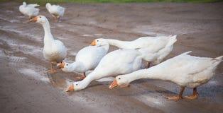 De witte ganzen drinken water van vulklei Stock Afbeelding
