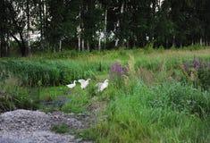 De witte ganzen lopen in een bosopheldering Royalty-vrije Stock Afbeeldingen