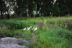 De witte ganzen lopen in een bosopheldering Stock Foto's