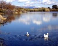 De witte Ganzen zwemmen uit op een kalm vreedzaam meer Royalty-vrije Stock Afbeelding