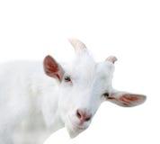 De witte geïsoleerde geit, sluit omhoog Stock Fotografie
