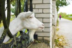 De witte geit royalty-vrije stock afbeeldingen