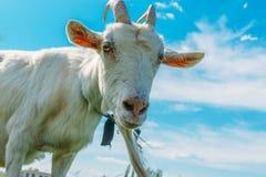 De witte geit bekijkt de camera tegen de achtergrond van heldere blauwe hemel met wolk royalty-vrije stock afbeeldingen