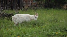 De witte Geit eet Gras stock videobeelden