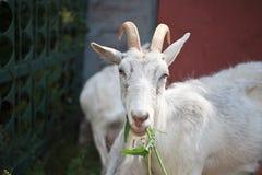 De witte geit kauwt een gras Stock Fotografie