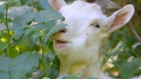 De witte geit met grote hoornen eet struik in het bos stock footage
