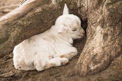 De witte geitbaby wordt gekruld omhoog verbergend onder een boom royalty-vrije stock foto