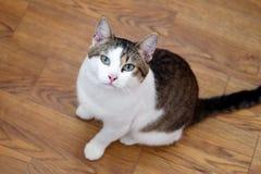 De witte gestreepte katkat met groene ogen zit op een vloer en onderzoekt de camera Royalty-vrije Stock Afbeeldingen