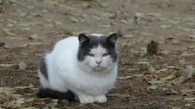 De witte grijze vette kat zit op droge gras dichte omhooggaande koude stock video