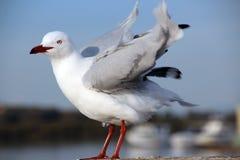 De witte het Schudden van de Zeemeeuw Veren van de Vleugel Royalty-vrije Stock Foto's